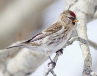 Common Redpoll by Darren Clark