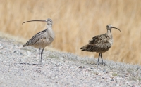 Curlews by Darren Clark