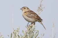 Grasshopper Sparrow by Darren Clark