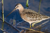 Long Billed Dowitcher by Darren Clark