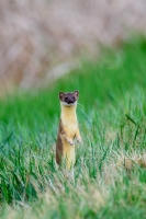 Long Tailed Weasel by Ray Liable