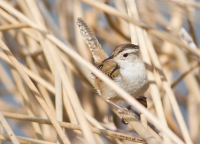 Marsh Wren by Darren Clark
