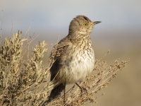 Sage Thrasher by Steve Butterworth