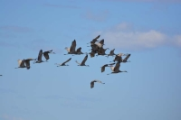 Sandhill Cranes Flying by Linda Milam