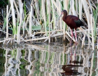 White Faced Ibis by Darren Clark