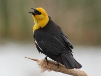 Yellow-Headed Blackbird by Linda Milam