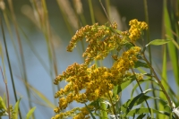 Yellowweed (Solidago elongata) also called goldenrod by Linda Milam