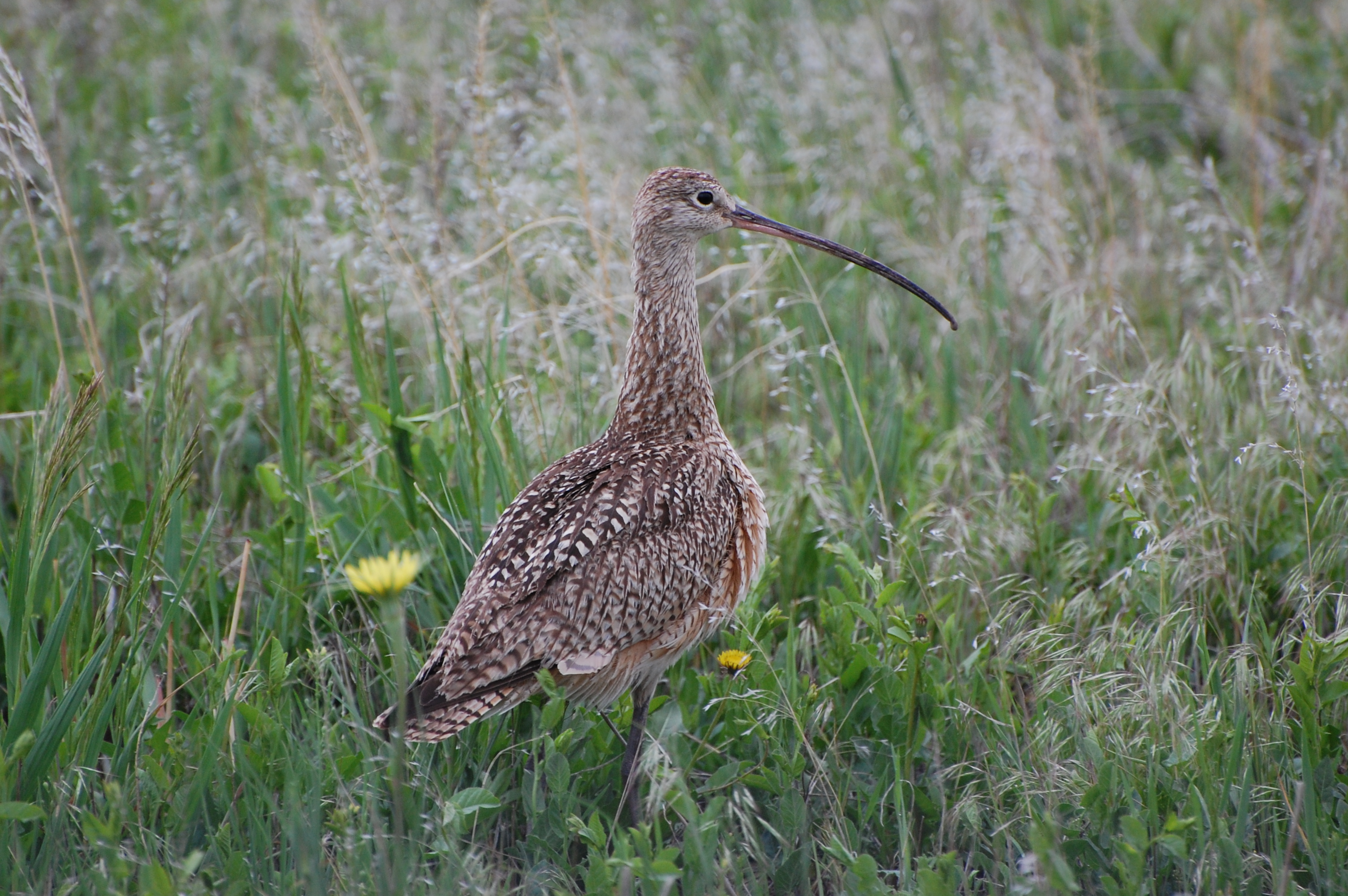 Curlew by Linda Milam